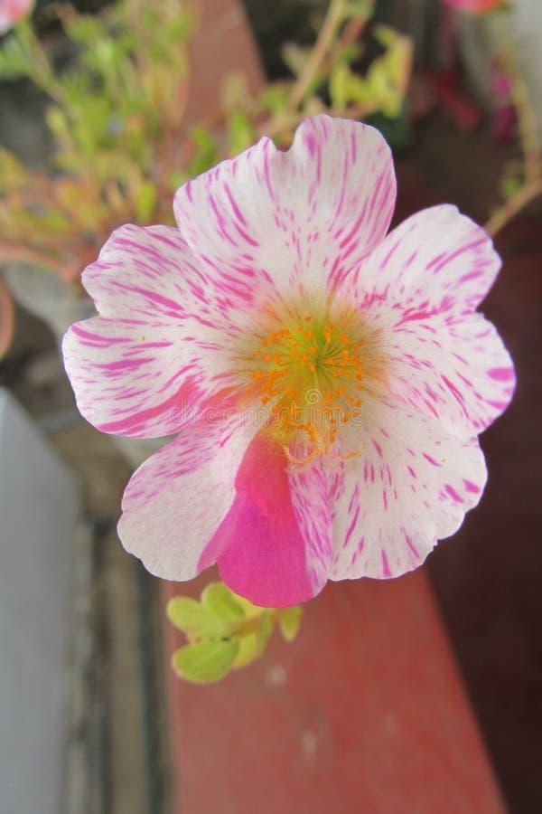 Ένα όμορφο λουλούδι στον κήπο στοκ εικόνα