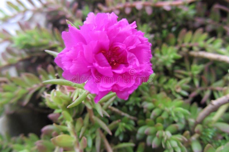 Ένα όμορφο λουλούδι στον κήπο στοκ φωτογραφίες με δικαίωμα ελεύθερης χρήσης