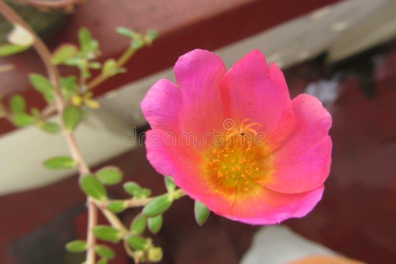 Ένα όμορφο λουλούδι στον κήπο στοκ φωτογραφίες