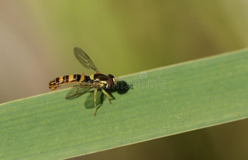 Ένα όμορφο μακρύ Hoverfly, scripta Sphaerophoria, που σκαρφαλώνει σε έναν κάλαμο στην άκρη μιας λίμνης στο UK στοκ εικόνες