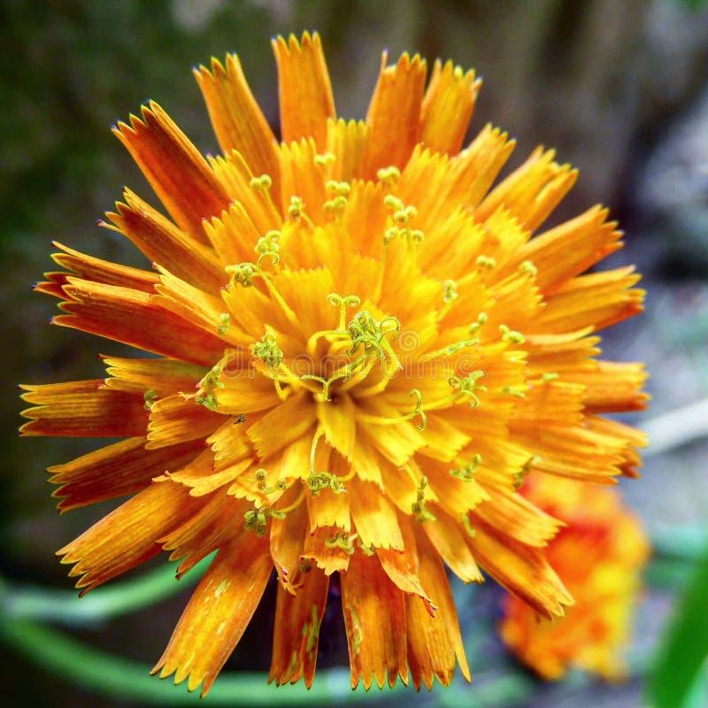 Ένα όμορφο πορτοκαλί λουλούδι στον κήπο στοκ εικόνες