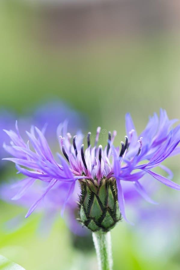 Ένα όμορφο πορφυρό λουλούδι Bluet βουνών γνωστό επίσης ως Centraurea Μοντάνα στοκ φωτογραφία