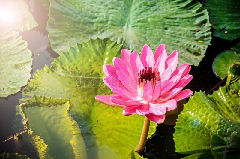 Ένα όμορφο ροζ waterlily ή λουλούδι λωτού στοκ φωτογραφία με δικαίωμα ελεύθερης χρήσης
