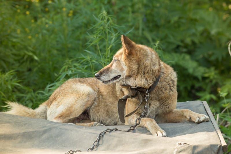 Ένα όμορφο σκυλί της σιβηρικής γεροδεμένης φυλής βρίσκεται στο θάλαμό του σε μια αλυσίδα το καλοκαίρι στοκ εικόνες με δικαίωμα ελεύθερης χρήσης
