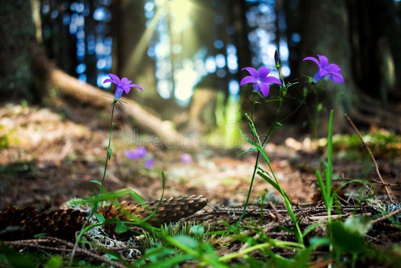 Ένα όμορφο τοπίο βουνών Εικόνα των πορφυρών λουλουδιών που αυξάνεται στα δάση βουνών, στη σκιά των δέντρων Ειρήνη και ειρήνη μέσα στοκ εικόνα