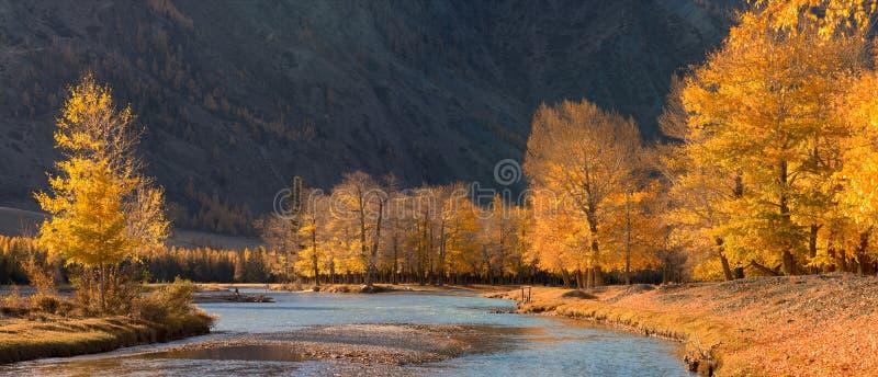 Ένα όμορφο τοπίο βουνών φθινοπώρου με τις ηλιοφώτιστες λεύκες και τον μπλε ποταμό Δάσος φθινοπώρου με τα πεσμένα φύλλα στοκ φωτογραφίες