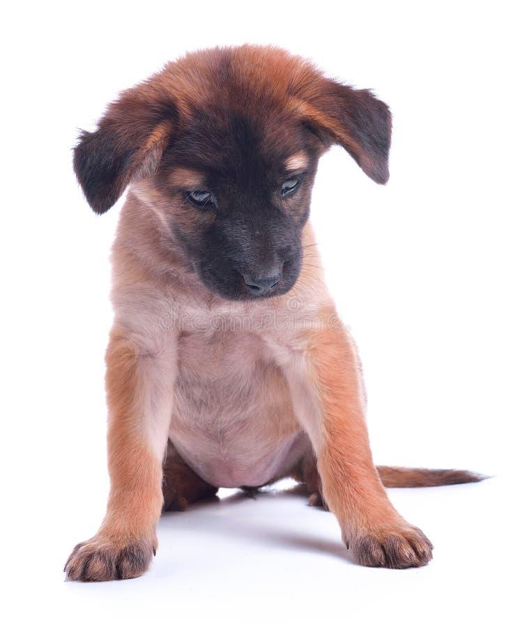 Ένα όμορφο χαμόγελου σκοτεινό σκυλί κουταβιών σοκολάτας ευτυχές κάθεται, ι στοκ φωτογραφίες