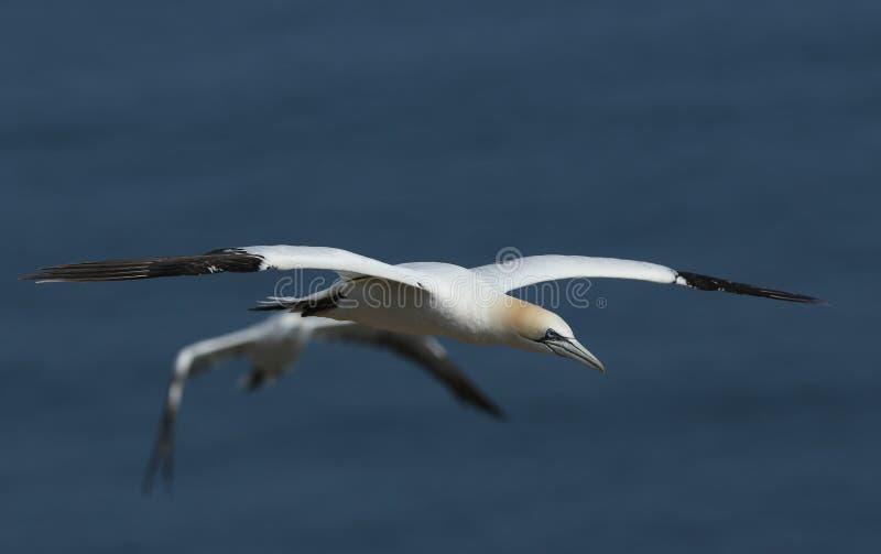 Ένα όμορφο Gannet, Morus bassanus, που πετάει πάνω από τη θάλασσα στο Bempton, Cliffs, Yorkshire στοκ εικόνες με δικαίωμα ελεύθερης χρήσης