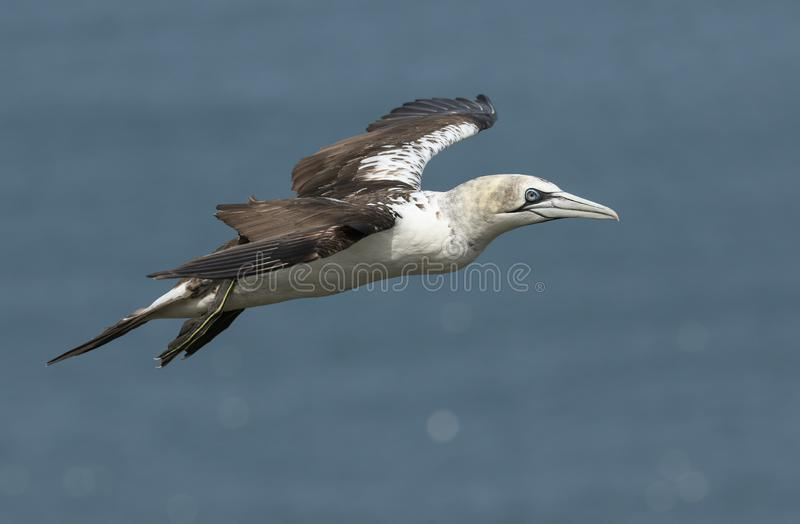 Ένα όμορφο Gannet, Morus bassanus, που πετάει πάνω από τη θάλασσα στο Bempton, Cliffs, Yorkshire στοκ φωτογραφία με δικαίωμα ελεύθερης χρήσης