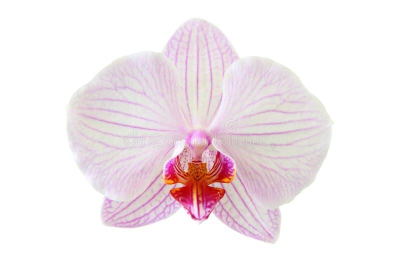 Ένα όμορφο orchid λουλούδι στοκ εικόνες