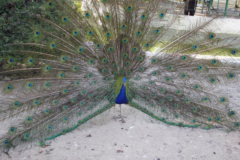 Ένα όμορφο peacock στο Πακιστάν στοκ εικόνα με δικαίωμα ελεύθερης χρήσης