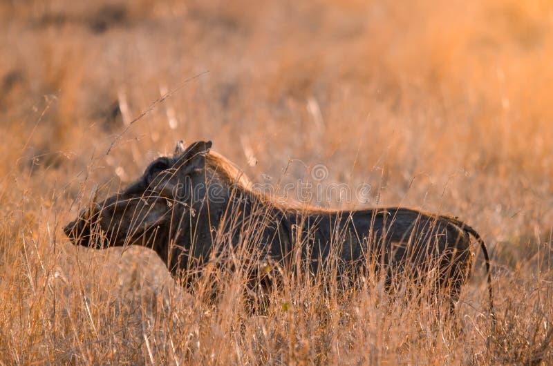 Ένα africanus phacochoerus warthog που στέκεται στη μακριά χλόη Εθνικό πάρκο Kruger, νότος στοκ φωτογραφία
