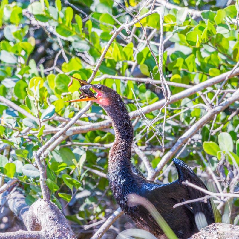 Ένα Ahinga που καταπίνει το θήραμά του Εθνικό πάρκο Everglades Φλώριδα o στοκ φωτογραφία