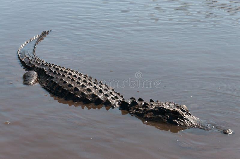 Ένα aligator καταδύθηκε κατά το ήμισυ στο Everglades στοκ εικόνα