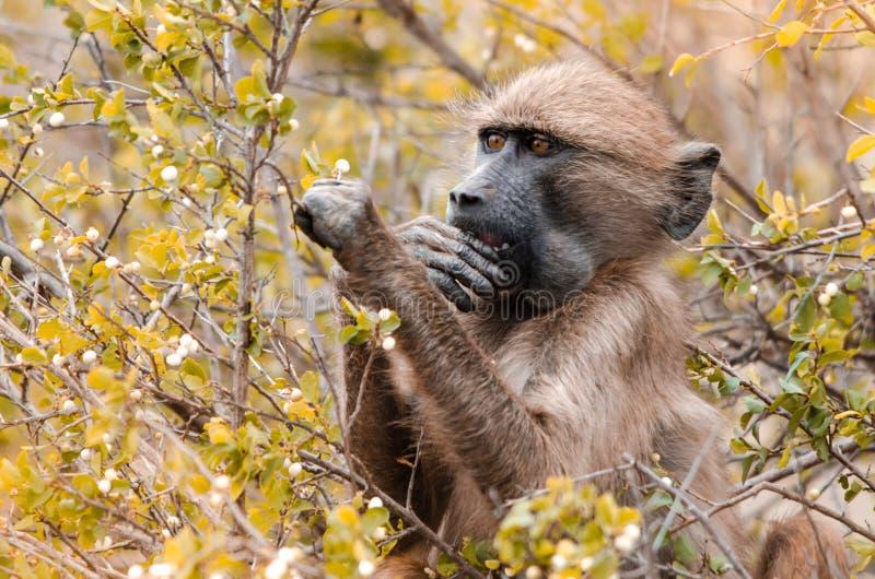 Ένα Baboon ακρωτηρίων επιλογές Papio Ursinus στα φύλλα στο εθνικό πάρκο Kruger, Νότια Αφρική στοκ φωτογραφία με δικαίωμα ελεύθερης χρήσης