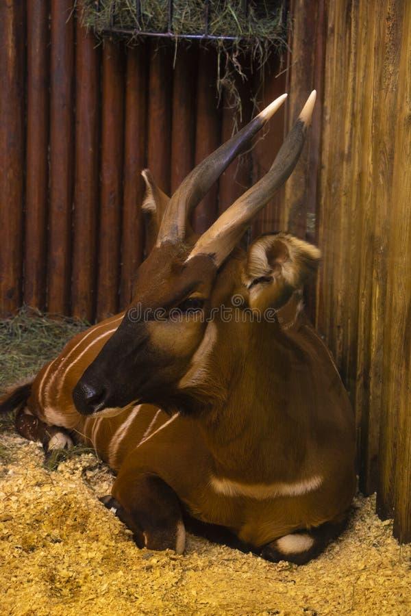 Ένα bongo, μια αντιλόπη, στο ζωολογικό κήπο στοκ εικόνα