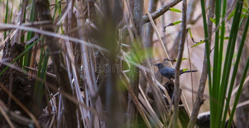 Ένα Catbird στο κουβανικό αλσύλλιο μαγγροβίων στοκ φωτογραφία με δικαίωμα ελεύθερης χρήσης