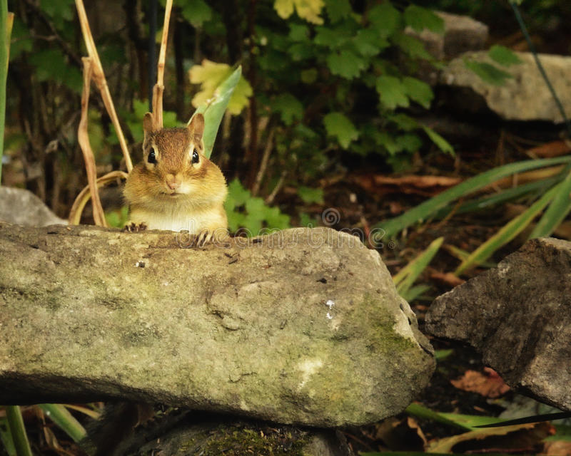 Ένα chipmunk στοκ φωτογραφίες