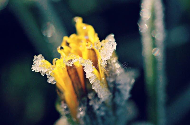 Ένα daffodil κάτω από τον πάγο στον ήλιο πρωινού - ΟΧΑΙΟ στοκ εικόνες