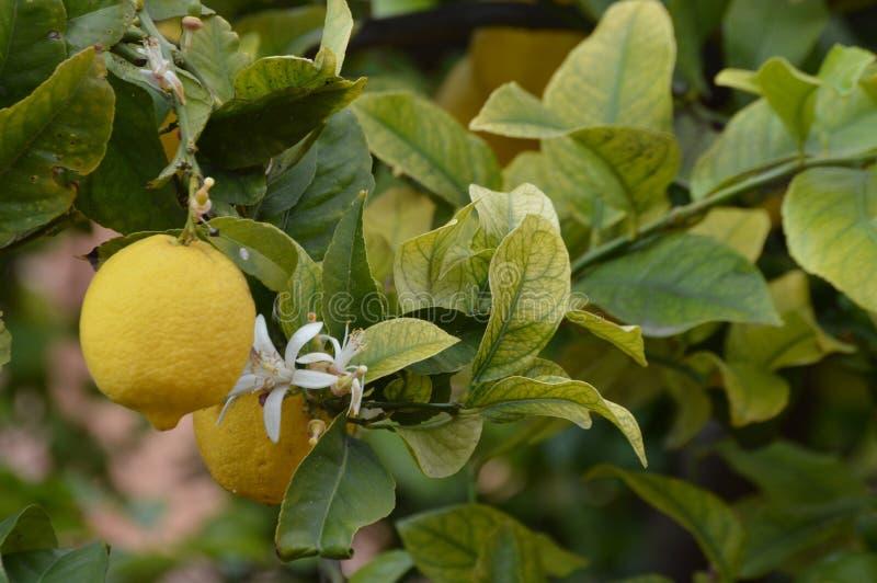 Ένα fruiting δέντρο λεμονιών με το άνθος ανθίζει στοκ φωτογραφία με δικαίωμα ελεύθερης χρήσης