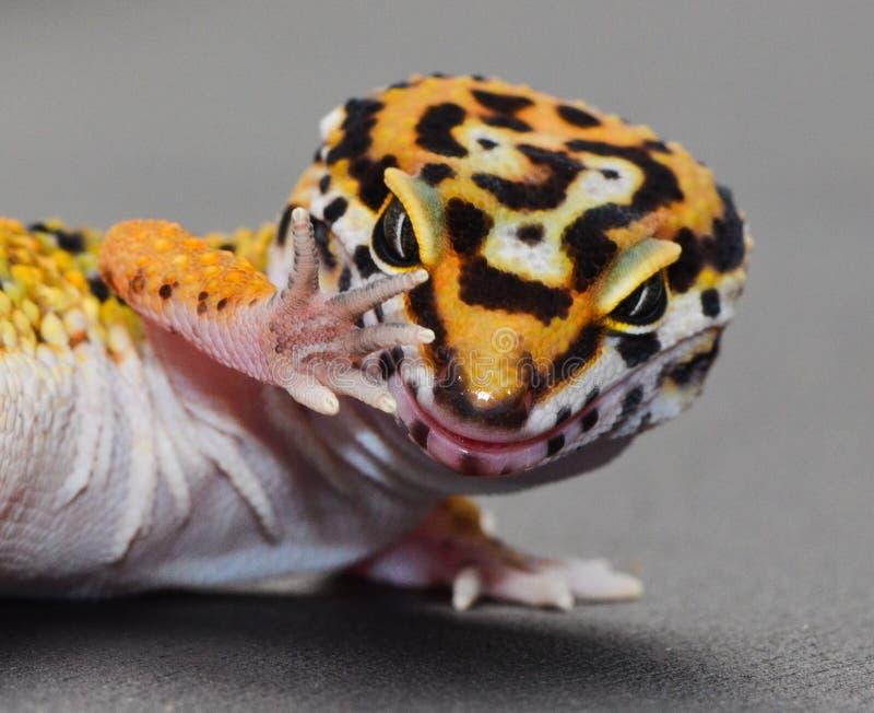 Ένα gecko λεοπαρδάλεων με την τοποθέτηση συζήτηση χεριών στοκ εικόνα με δικαίωμα ελεύθερης χρήσης