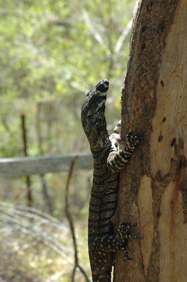 Ένα goanna που αναρριχείται σε έναν κορμό δέντρων στοκ φωτογραφίες