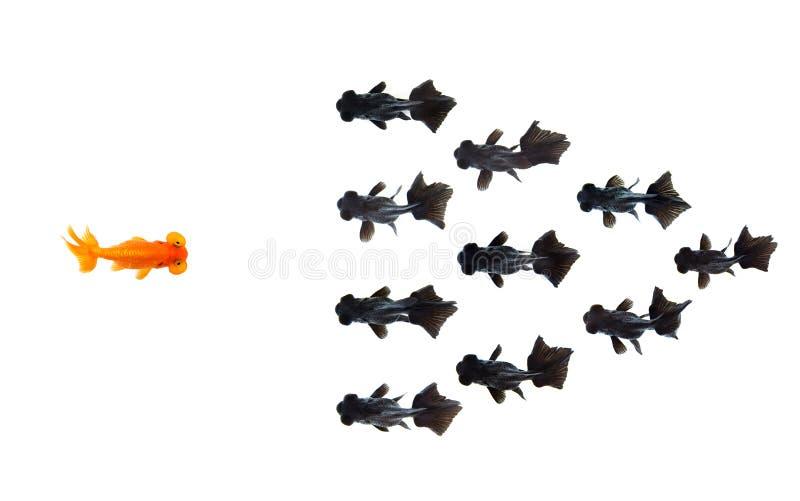 Ένα goldfish αντιμετωπίζει την ομάδα μικρού μαύρου goldfish που απομονώνεται στο άσπρο υπόβαθρο αντιπροσωπεύει το θάρρος ή την ιδ στοκ εικόνα
