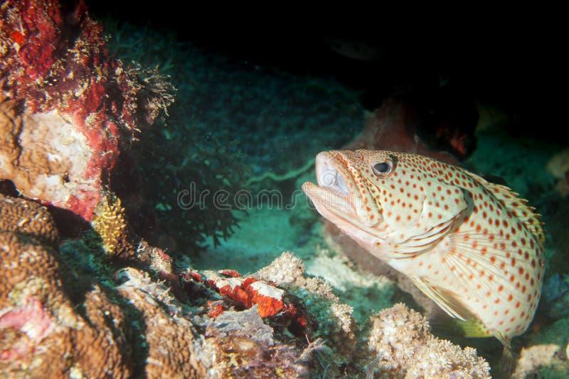Ένα grouper στενό επάνω πορτρέτο στοκ εικόνες