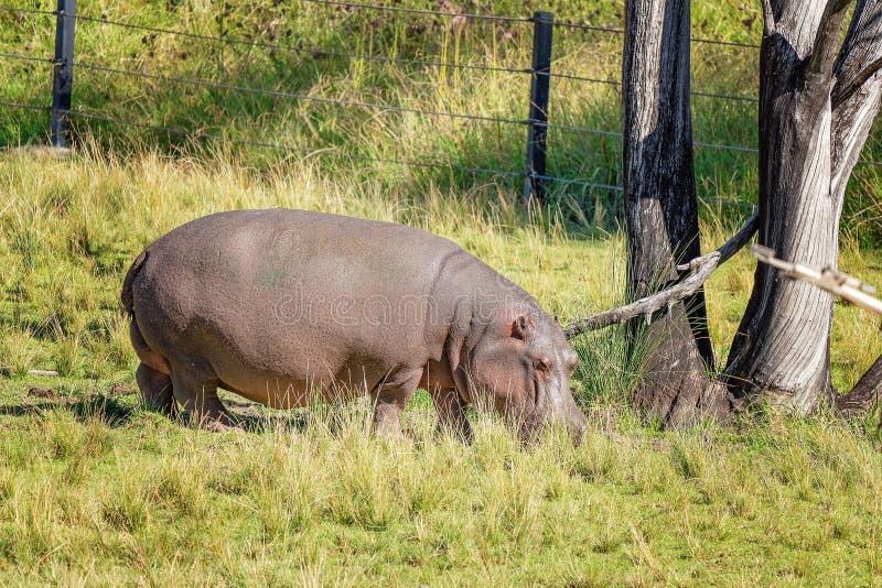 Ένα Hippo που τρώει τη χλόη στοκ φωτογραφία με δικαίωμα ελεύθερης χρήσης