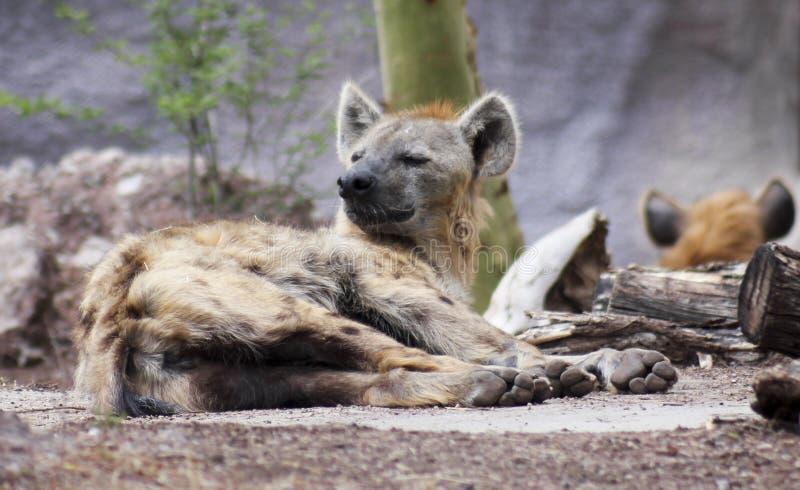 Ένα Hyena, Hyaenidae, παρακινείται από το NAP του στοκ φωτογραφίες με δικαίωμα ελεύθερης χρήσης