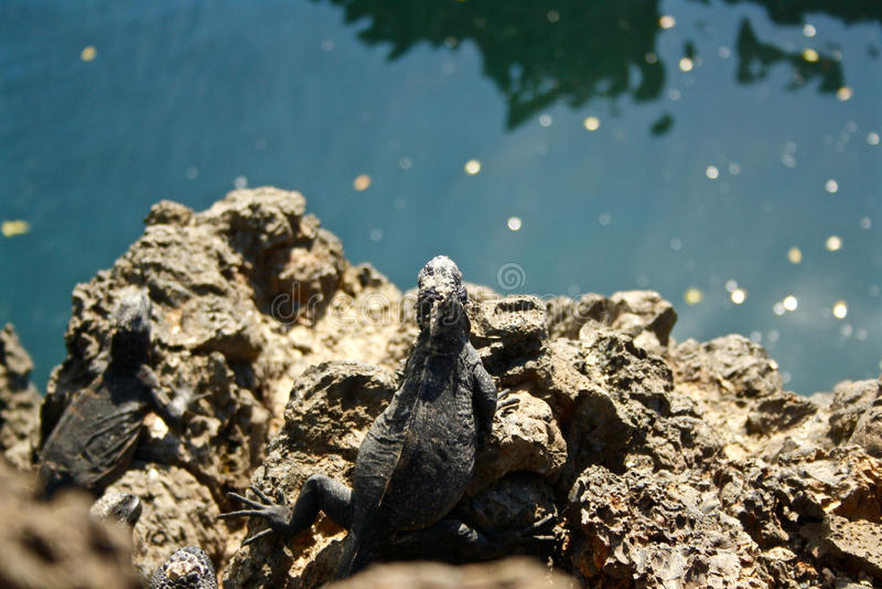 Ένα iguana που κοιτάζει πέρα από το νερό στα Galapagos νησιά στοκ εικόνες