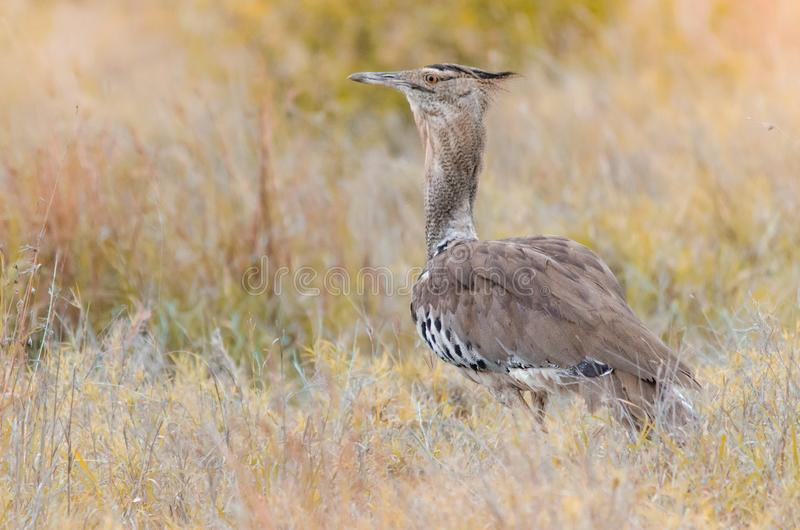 Ένα kori ardeotis Kori bustard, που στέκεται στη χλόη στο εθνικό πάρκο Kruger, μια επιφύλαξη παιχνιδιού στο νότο στοκ φωτογραφίες