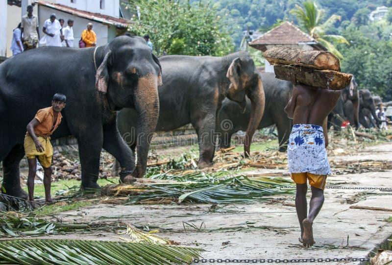 Ένα mahout φέρνει μερικά κούτσουρα προς τον ελέφαντά του μέσα στο ναό του ιερού λειψάνου δοντιών σύνθετου σε Kandy, Σρι Λάνκα στοκ φωτογραφία με δικαίωμα ελεύθερης χρήσης