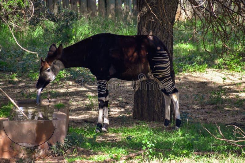 Ένα okapi που στέκεται στη σκιά στοκ φωτογραφία με δικαίωμα ελεύθερης χρήσης