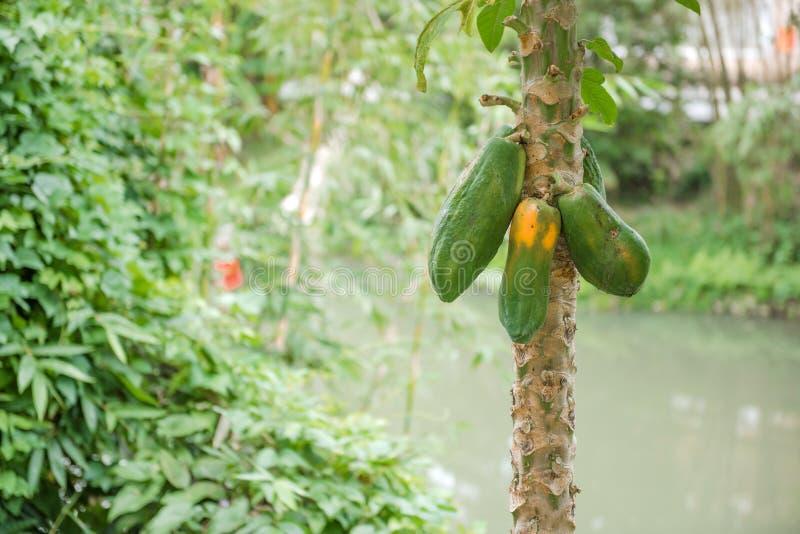 Ένα Papaya δέντρο στοκ φωτογραφία με δικαίωμα ελεύθερης χρήσης
