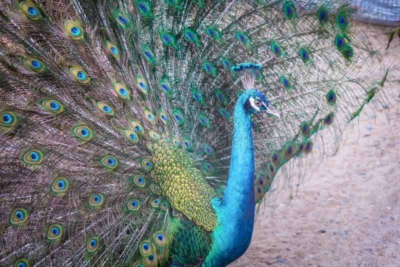 Ένα peacock επέκτεινε τα ζωηρόχρωμα φτερά στοκ εικόνα