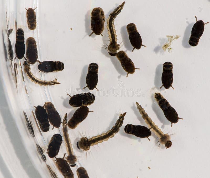 Ένα Petri πιάτο που περιέχει τα κουνούπια στα ποικίλα στάδια της ωρίμανσης στοκ φωτογραφία