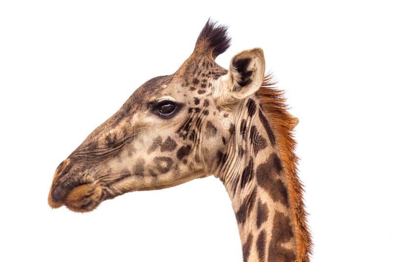 Ένα portraite giraffe στη σαβάνα στην Τανζανία στοκ εικόνες