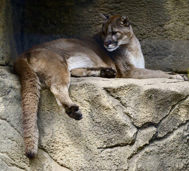 Ένα Puma στοκ εικόνες