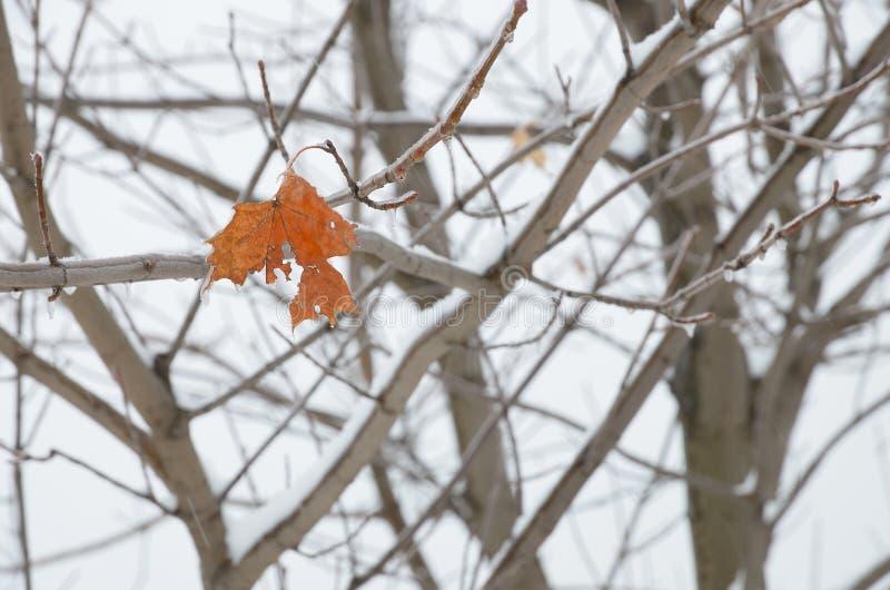 Ένα shabby φύλλο στους κλάδους σφενδάμνου το χειμώνα στοκ φωτογραφίες με δικαίωμα ελεύθερης χρήσης