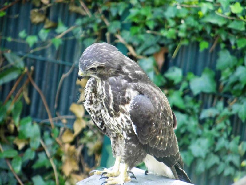 Ένα sparrowhawk κάθεται στη στέγη στοκ εικόνες με δικαίωμα ελεύθερης χρήσης