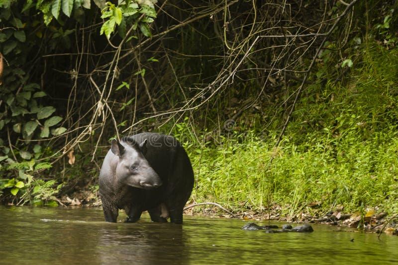 Ένα tapir που στέκεται στο νερό στοκ εικόνες
