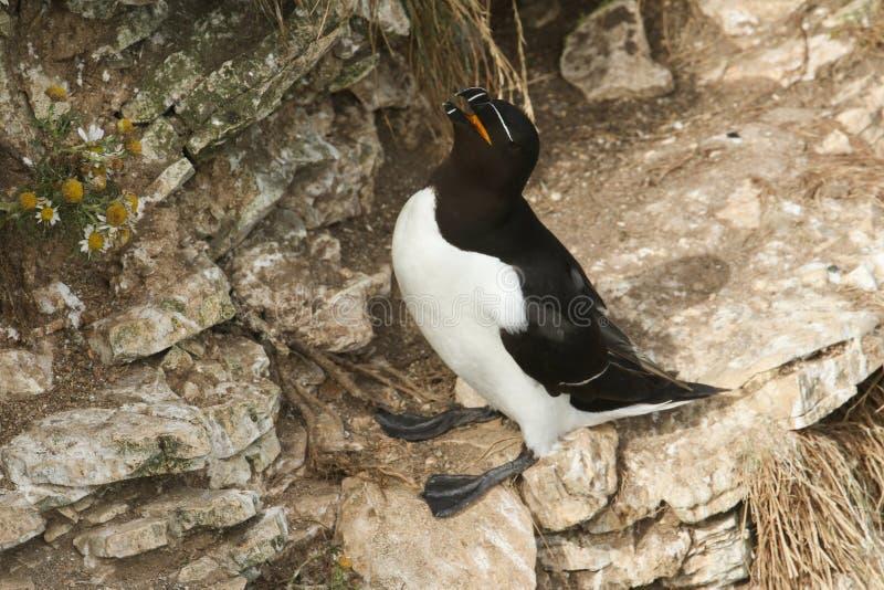 Ένα torda ζάλης Razorbill Alca που σκαρφαλώνει στην άκρη ενός απότομου βράχου στο UK επί να τοποθετηθεί του του τόπου στοκ εικόνες