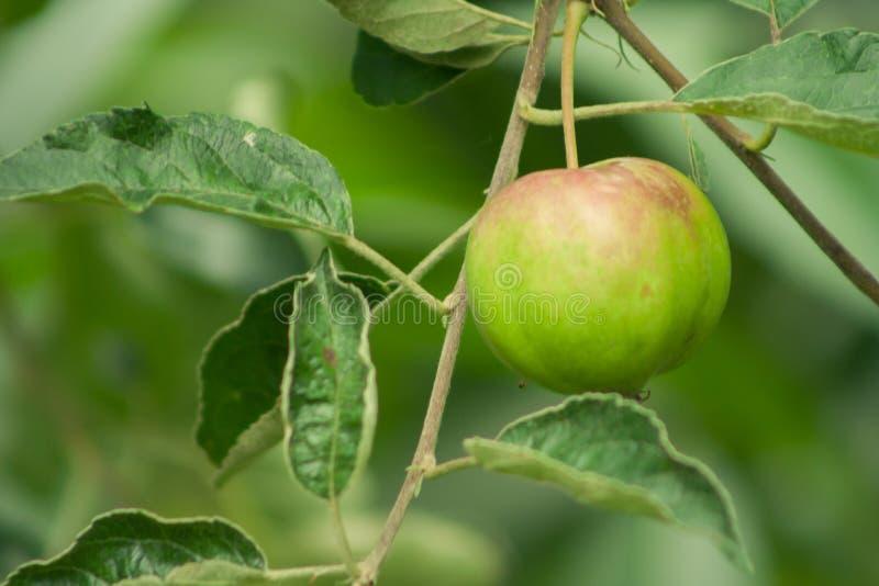 Ένα unripe μήλο που αποκτά ένα κόκκινο χρώμα Ένα μήλο που κρεμά σε ένα δέντρο στοκ φωτογραφίες
