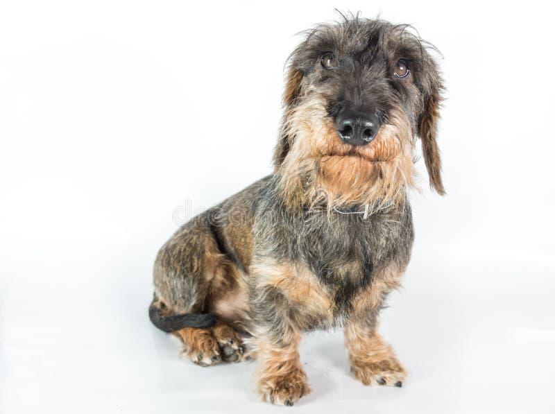Ένα wire-haired dachshund στοκ εικόνες