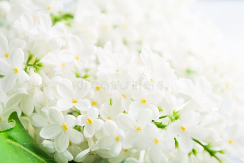 Έννοια άνοιξης και καλοκαιριού με την άσπρη ελαφριά φρέσκια πασχαλιά αρώματος Υπόβαθρο έννοιας αρώματος Όμορφη άνοιξη ανθών r στοκ εικόνα