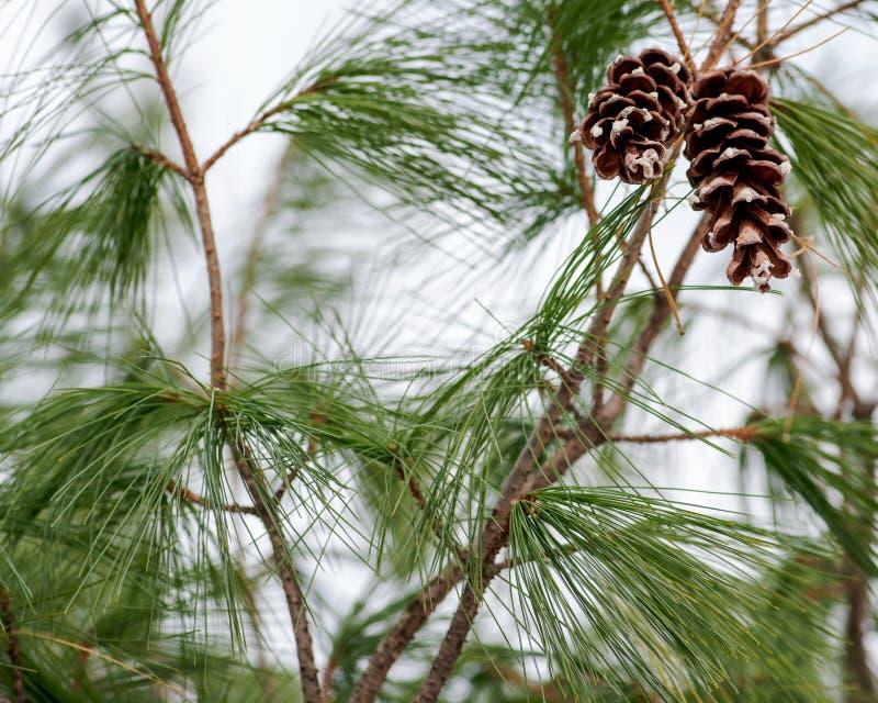 Έννοια διακοσμήσεων χειμερινών διακοπών: παγωμένο χιονισμένο δέντρο πεύκων με τον κώνο στη δασική κονσέρβα στοκ εικόνες