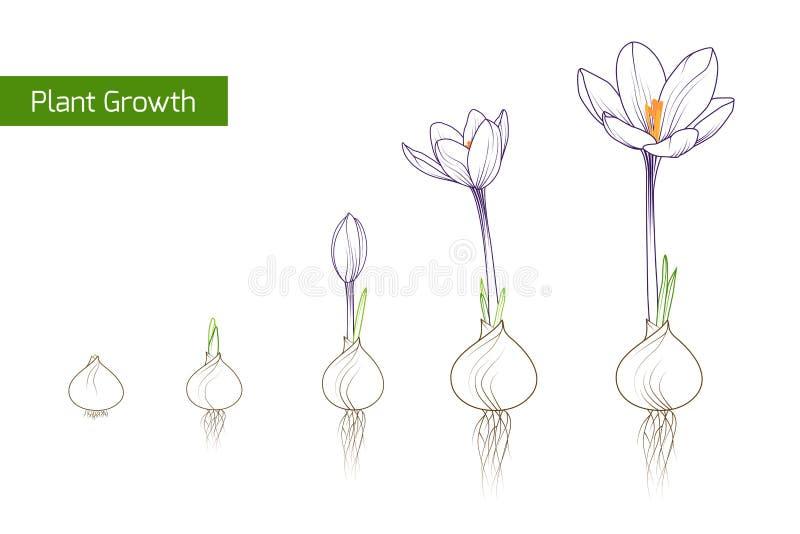 Έννοια εξέλιξης αύξησης εγκαταστάσεων λουλουδιών κρόκων ελεύθερη απεικόνιση δικαιώματος