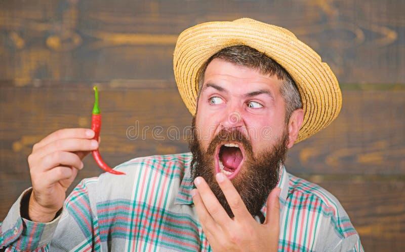 Έννοια συγκομιδών πιπεριών Ο αγροτικός αγρότης στο καπέλο αχύρου συμπαθεί το πικάντικο γούστο Γενειοφόρος λαβή αγροτών συγκομιδών στοκ εικόνες