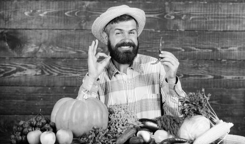 Έννοια συγκομιδών πιπεριών Ο αγροτικός αγρότης στο καπέλο αχύρου συμπαθεί το πικάντικο γούστο Γενειοφόρος λαβή αγροτών συγκομιδών στοκ εικόνα